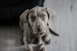 לסרס כלבים